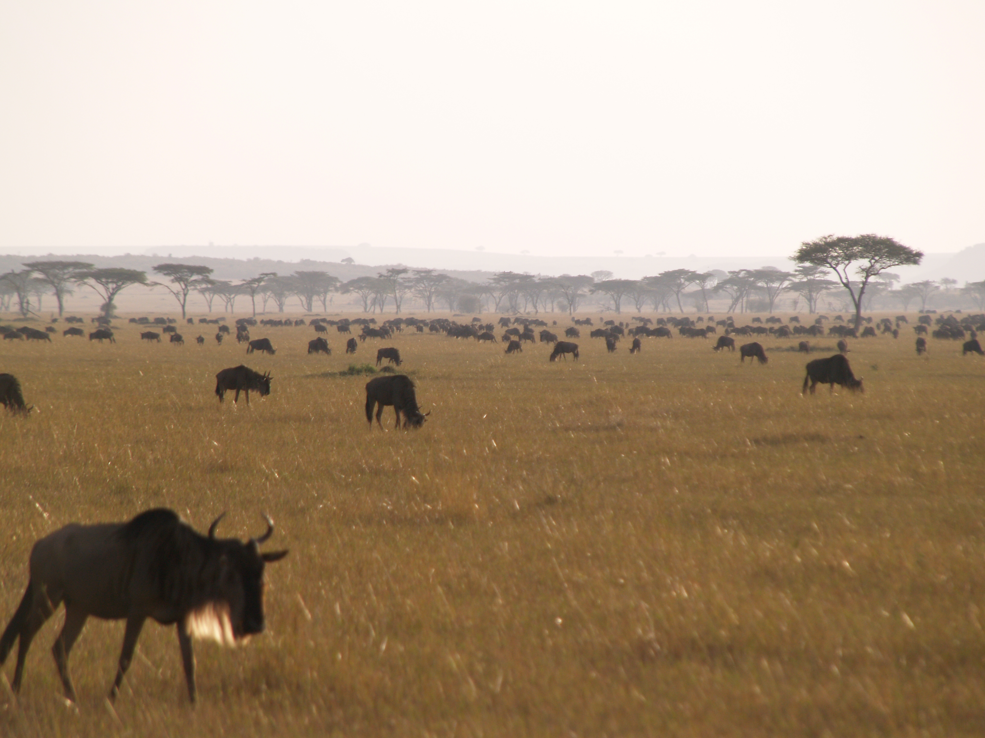 early morning picture of wildebeest grazing