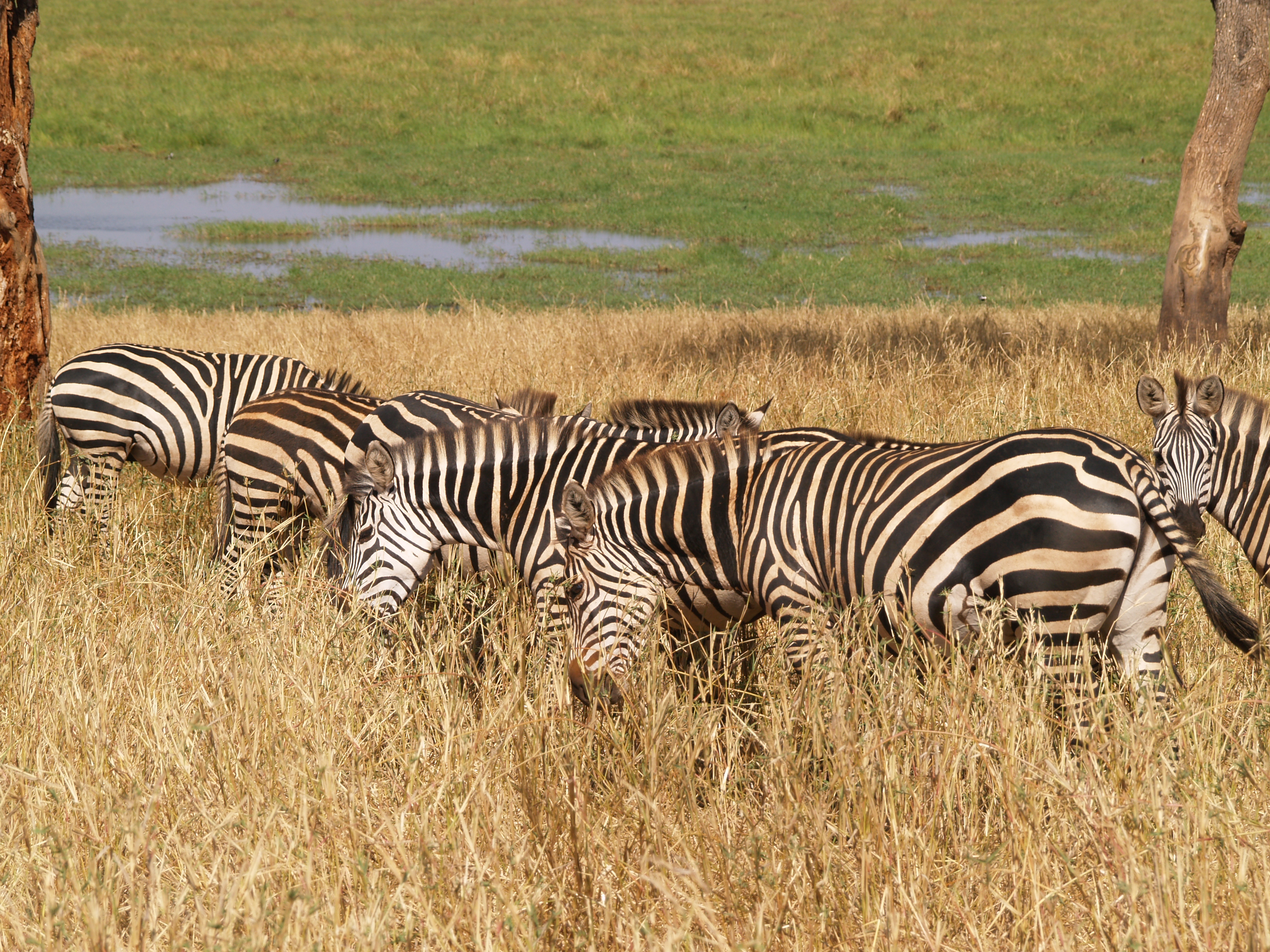 zebras by the marsh
