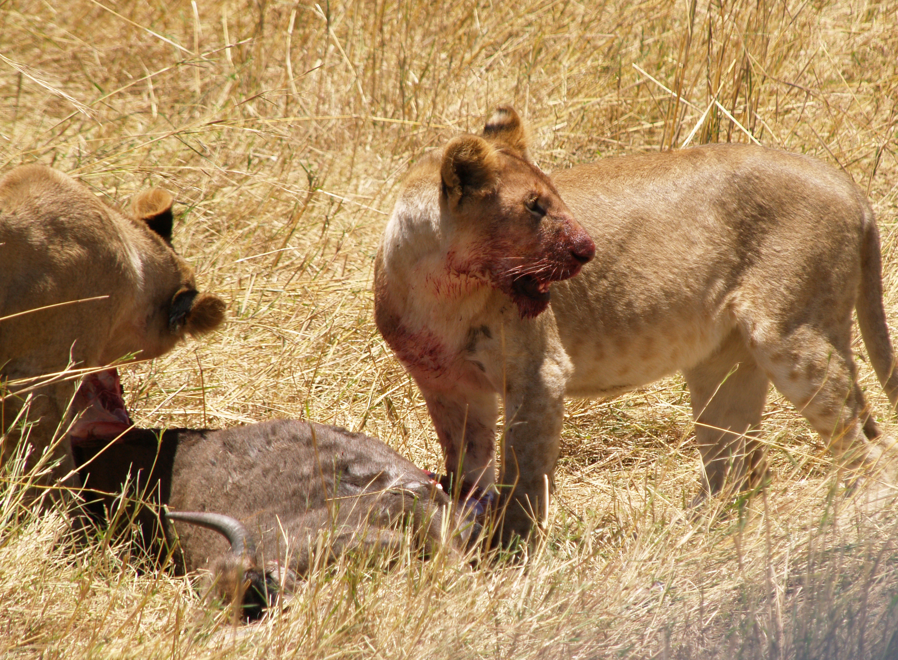 cubs with bloody faces