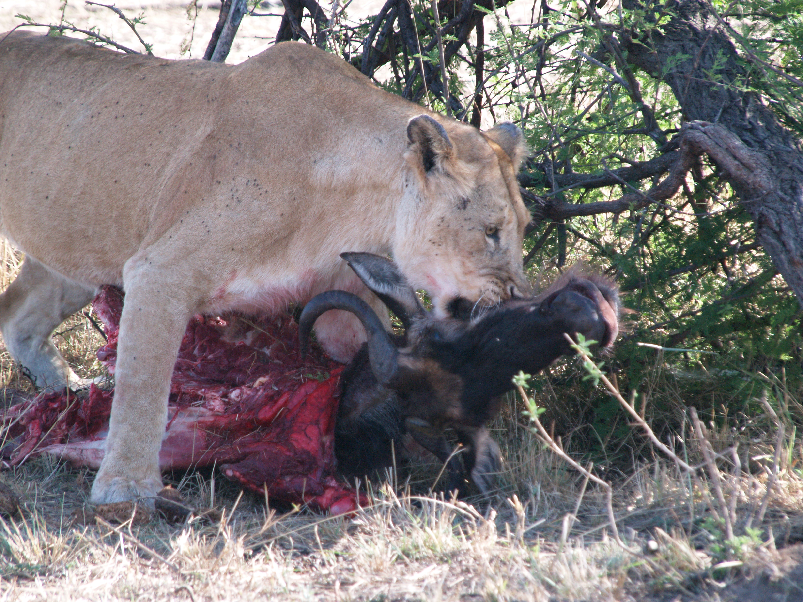 lion dragging a kill to a more protective spot