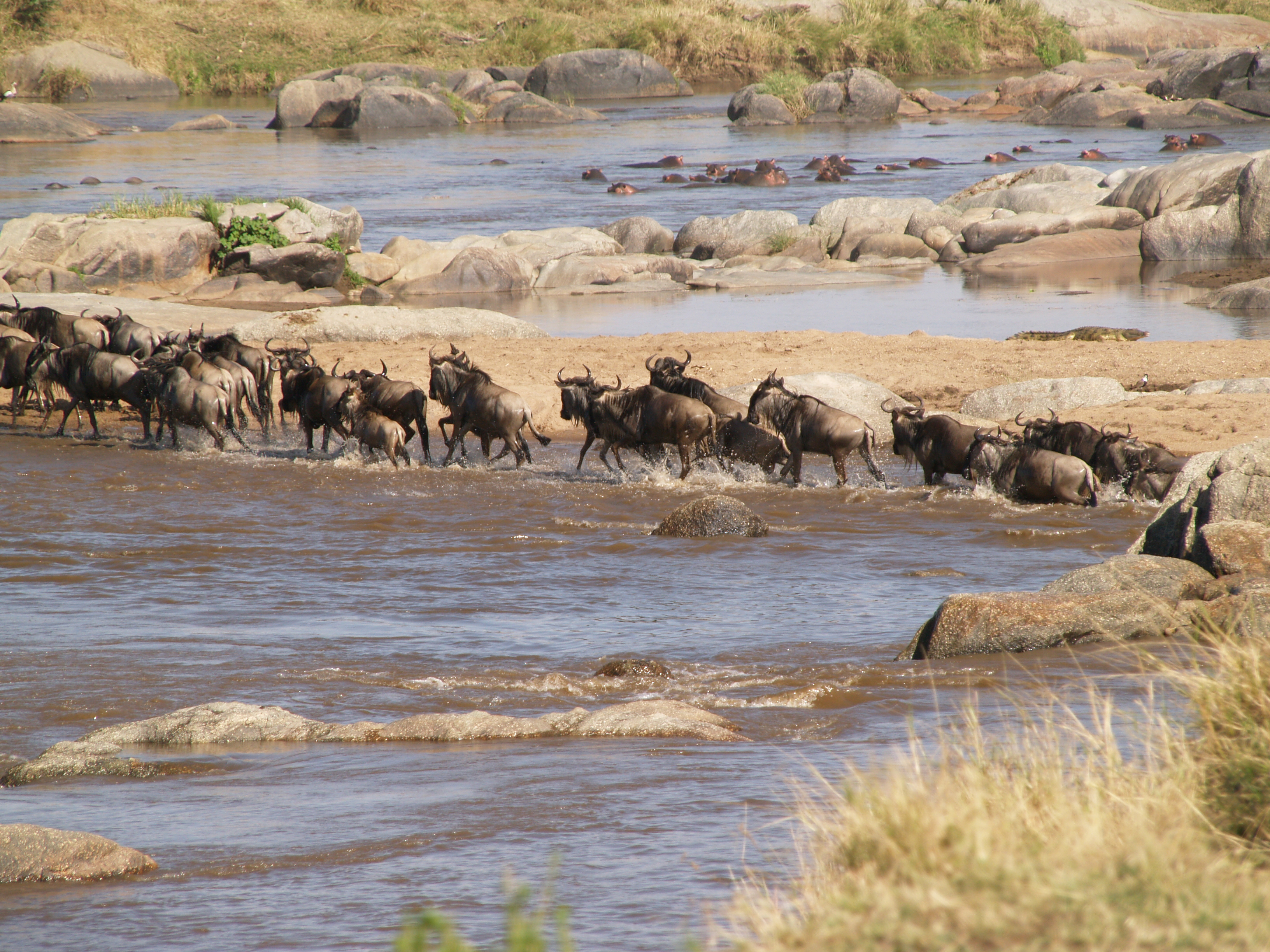 next three shots is a progression of wildebeest crossing the Mara River