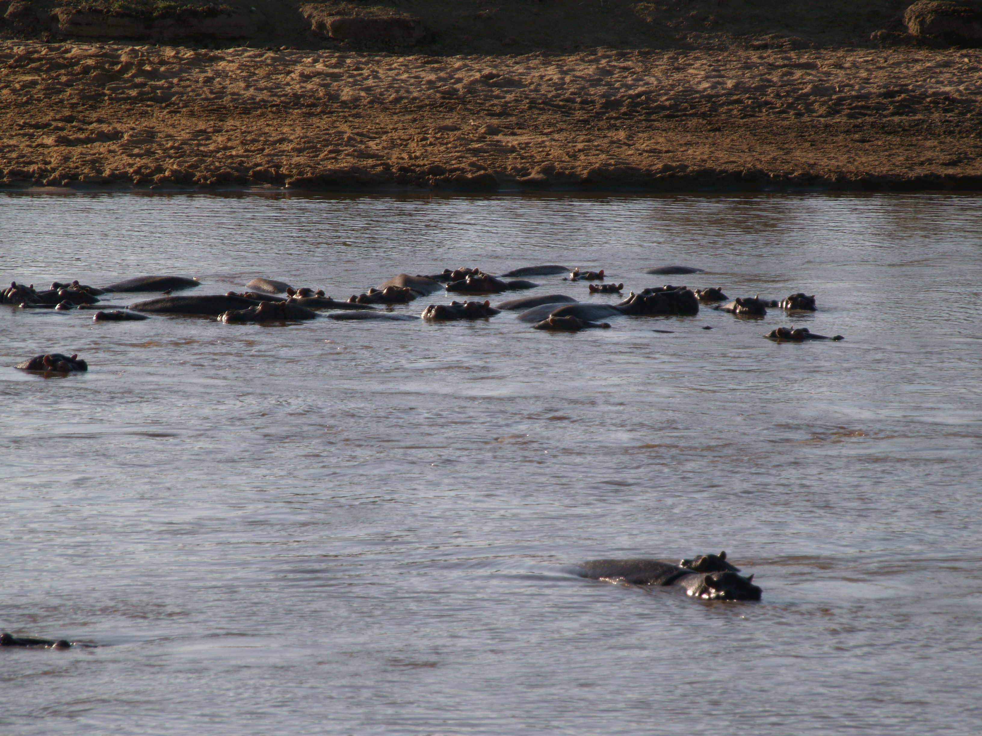 hippos wading in the Mara River