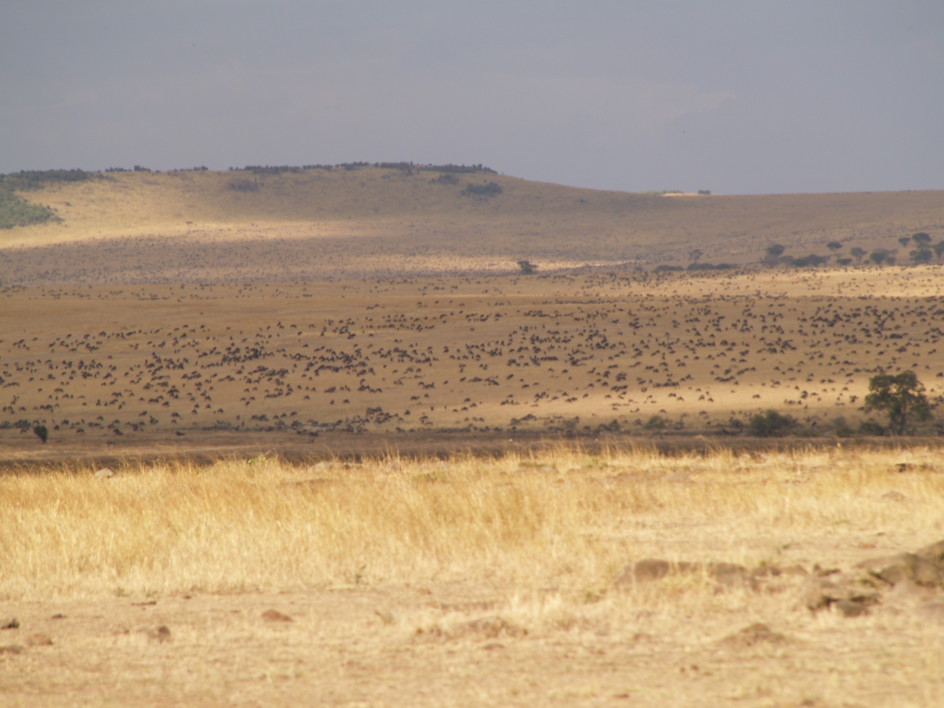 as far as you can see, wildebeest grazing