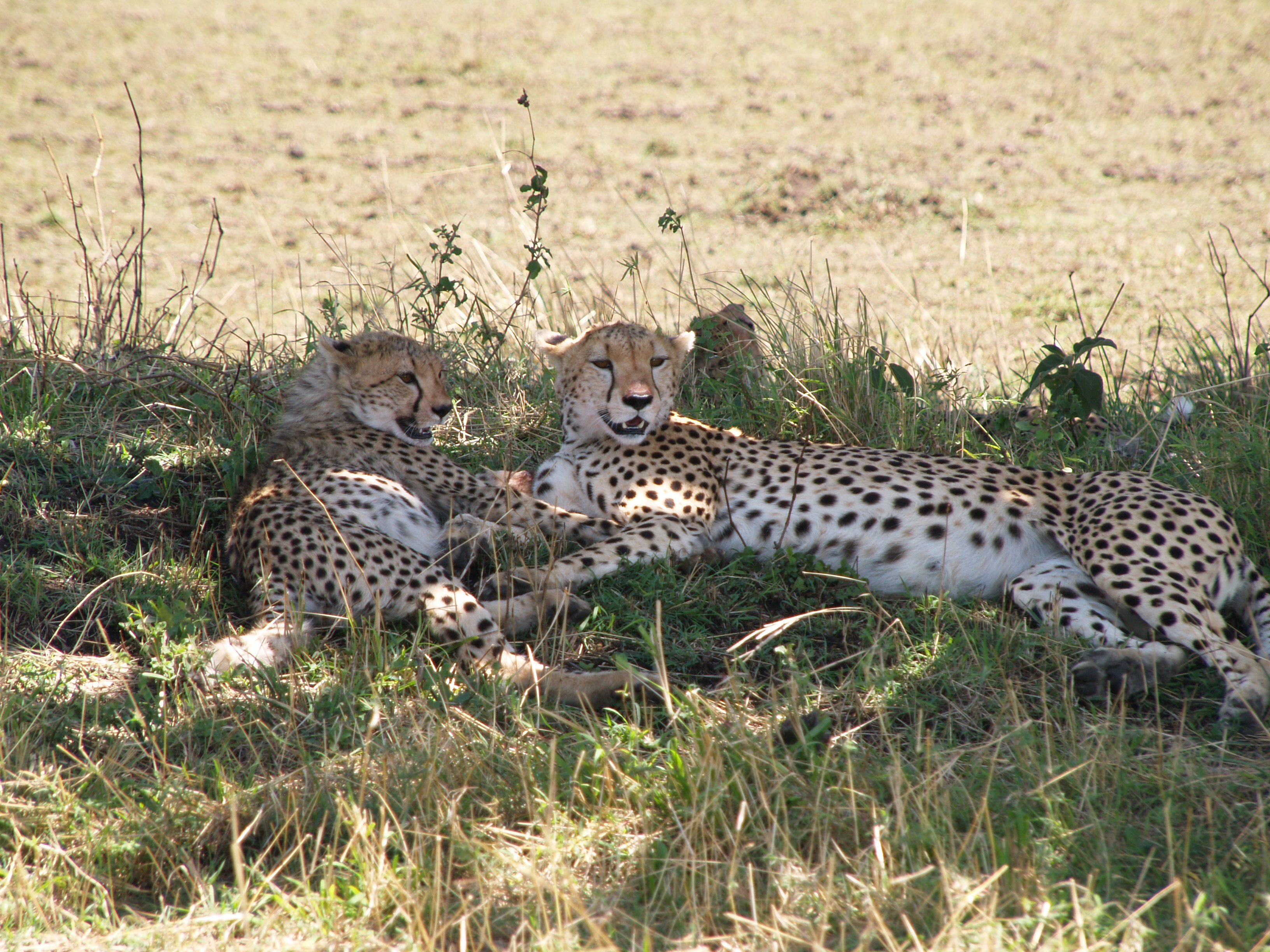 cheetahs resting in the shade