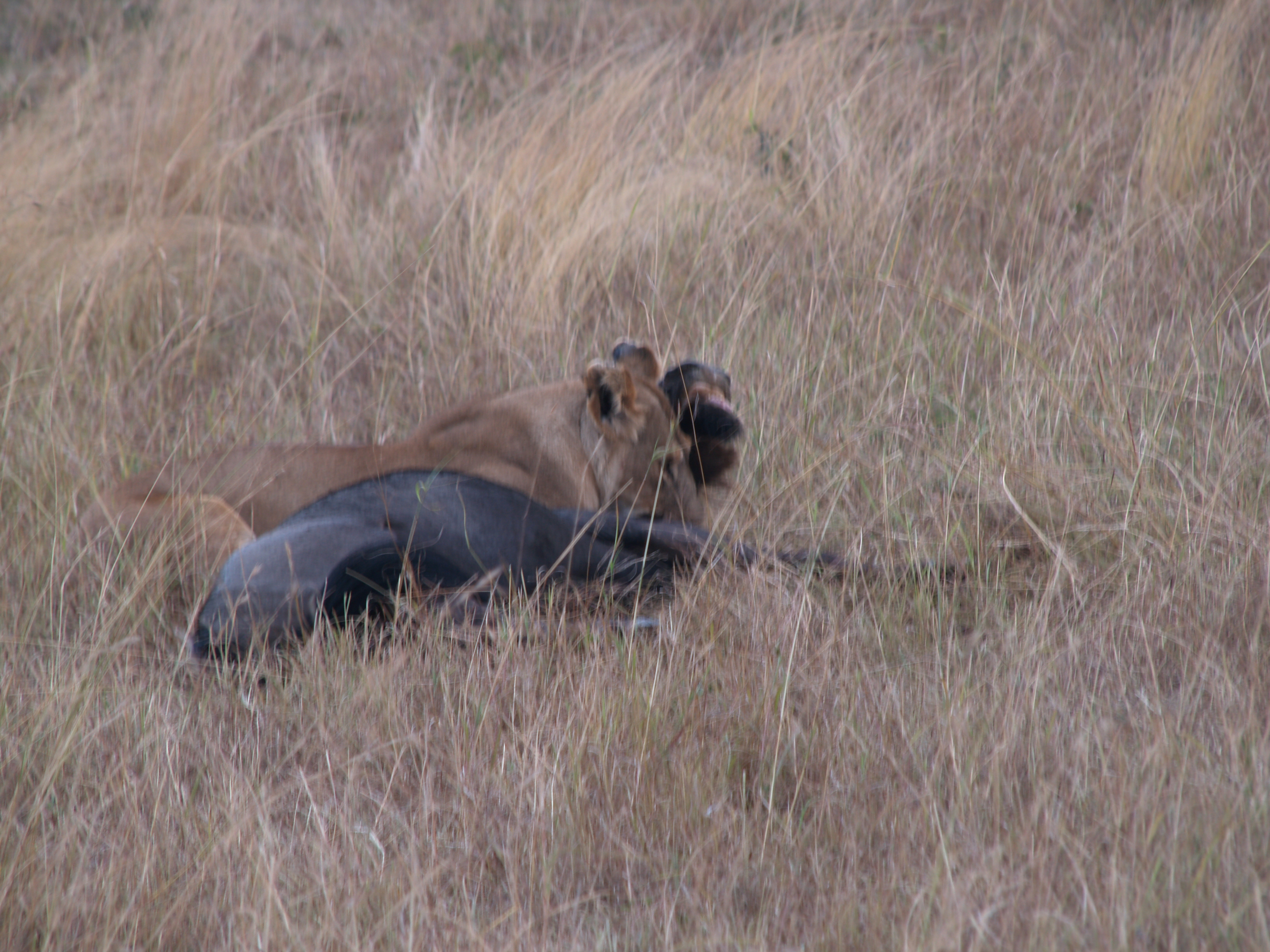 "the afternoon ""kill"", lion gripping the neck of the wildebeest"