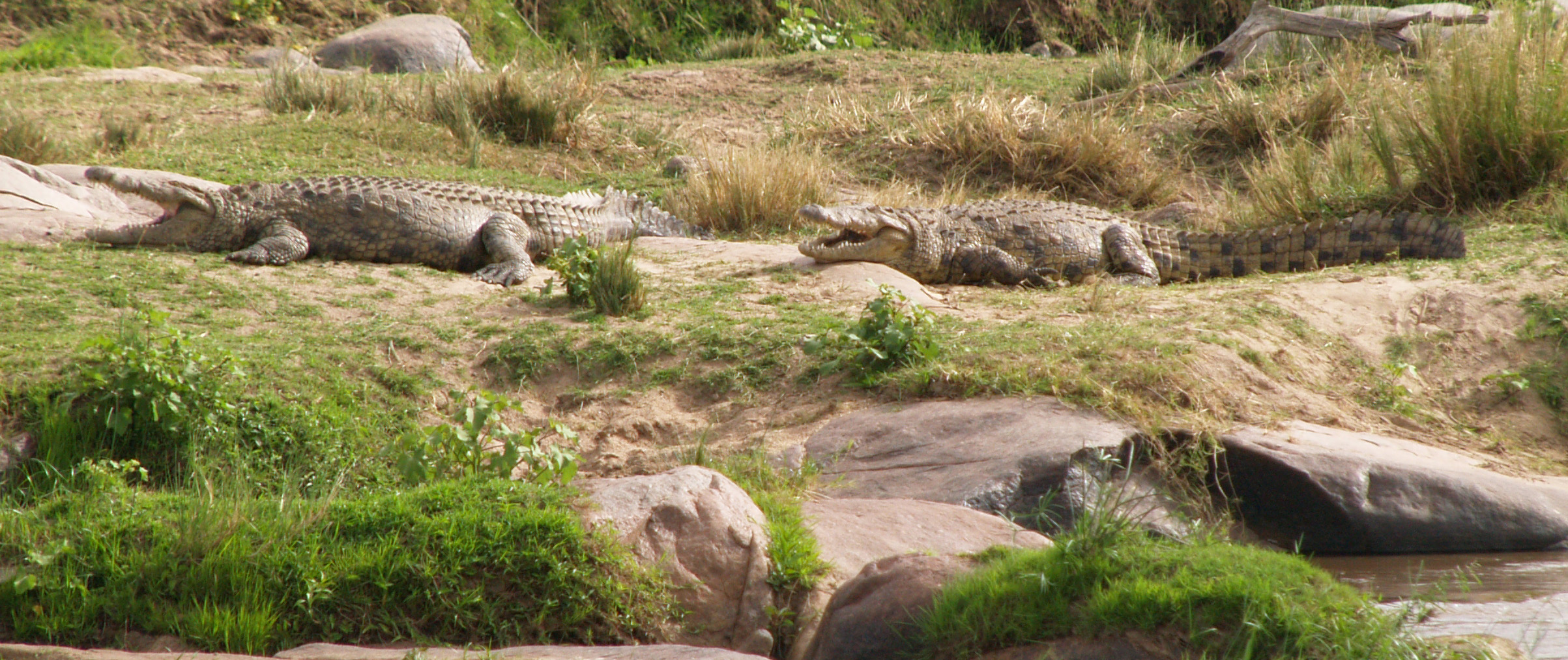 crocs resting on the sandbar, notice their fat bellies, mouths open because they are  heavily breathing digesting there meal