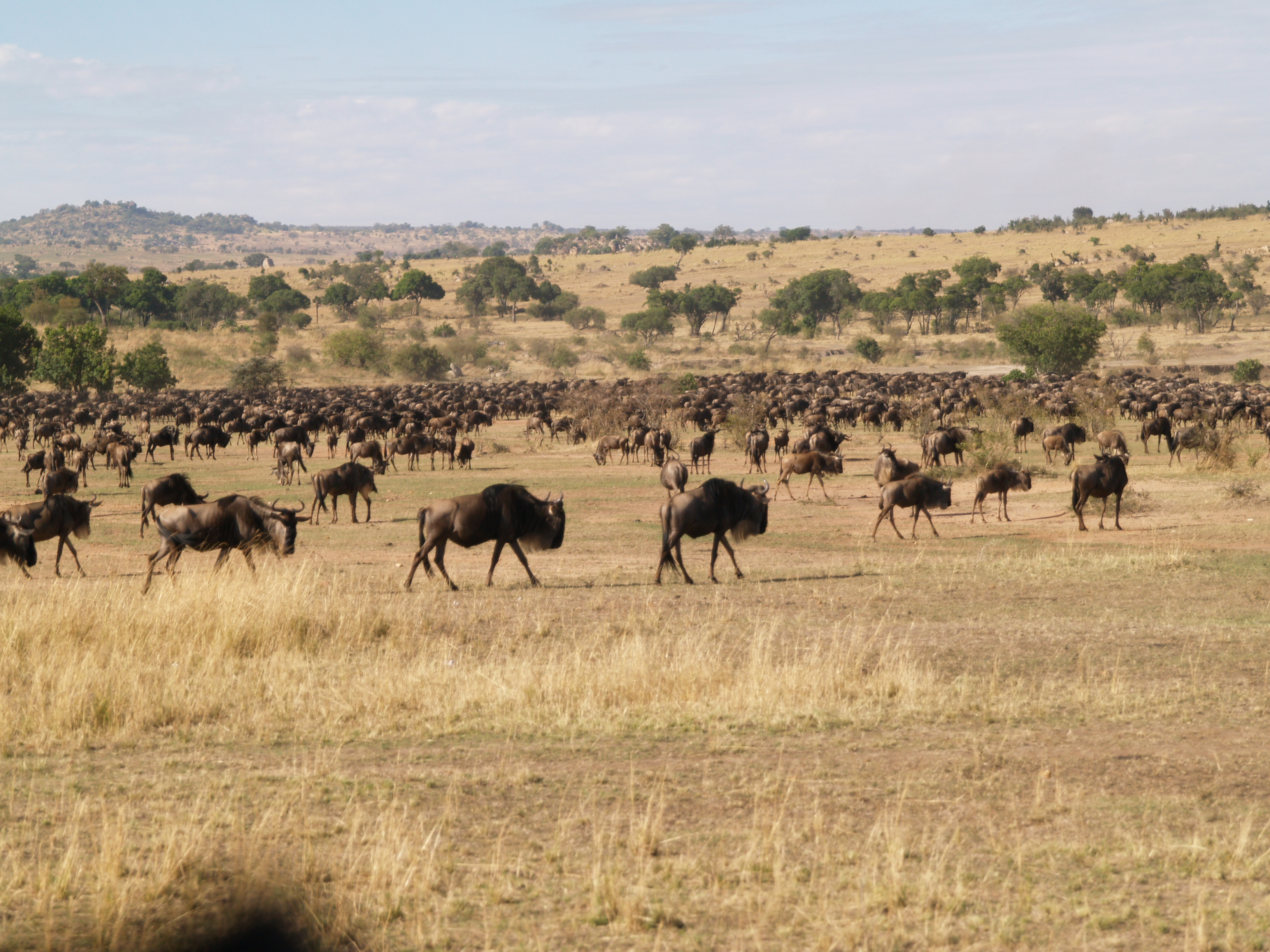 wildebeest accumulating near the river