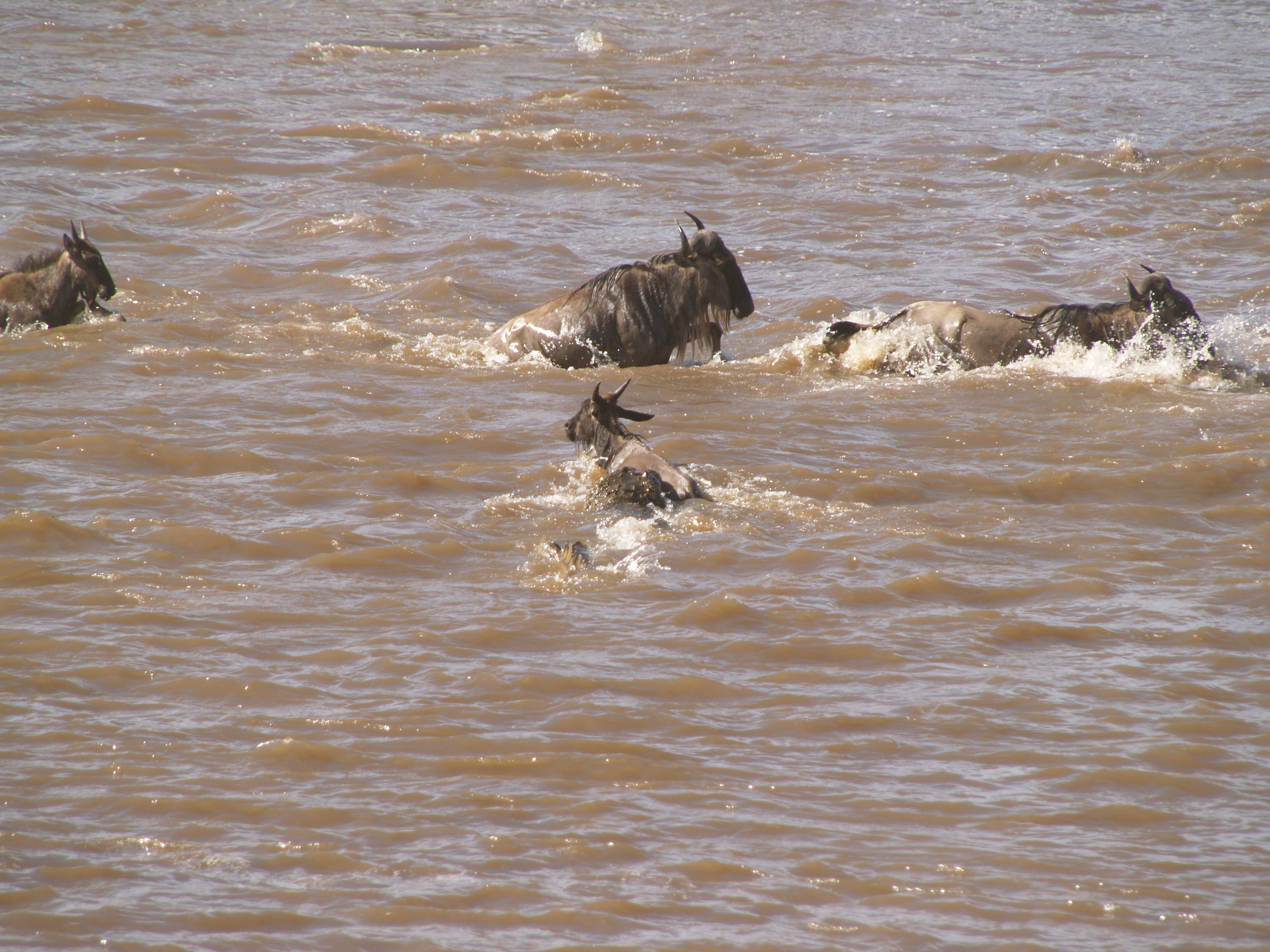 croc has a hold on the wildebeest