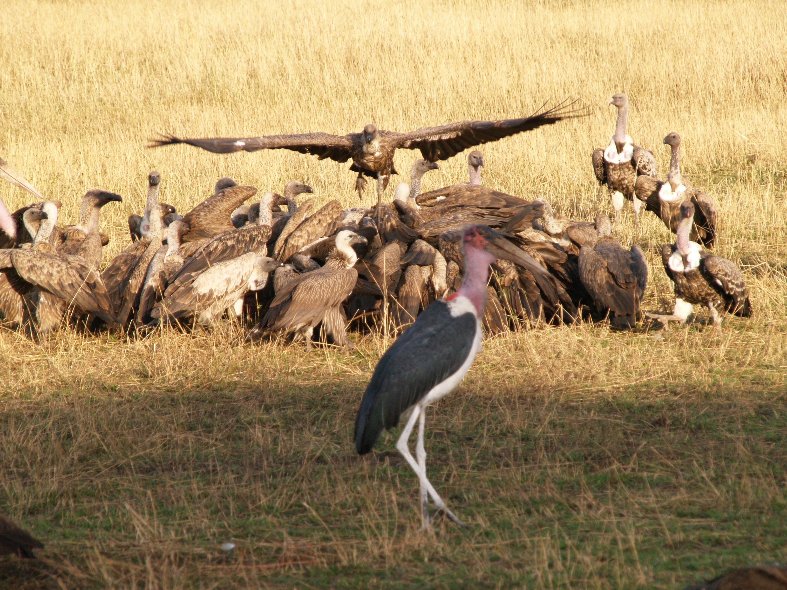 vultures with a marabou stork in the foreground also vying for food