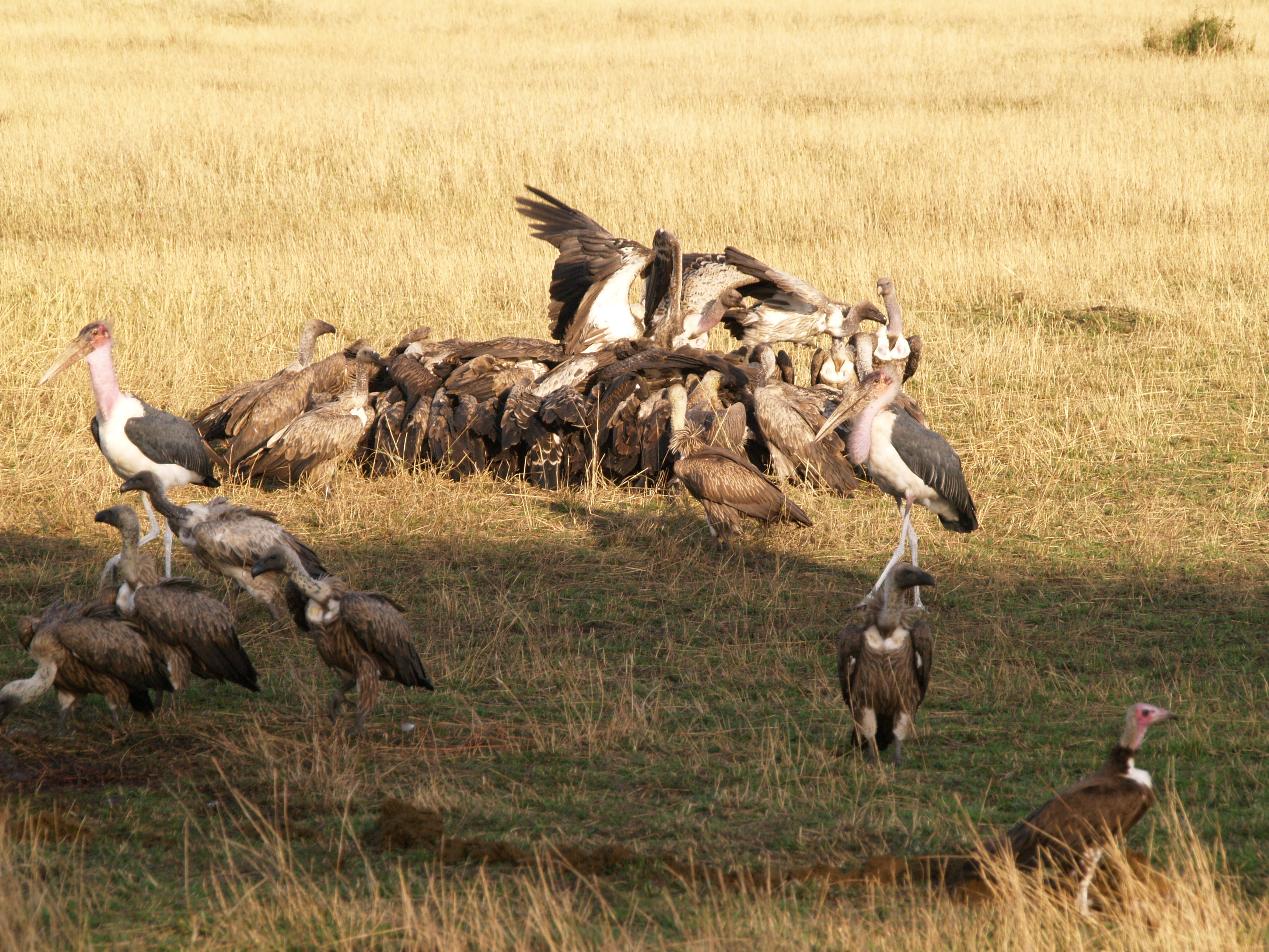 vultures consuming a kill