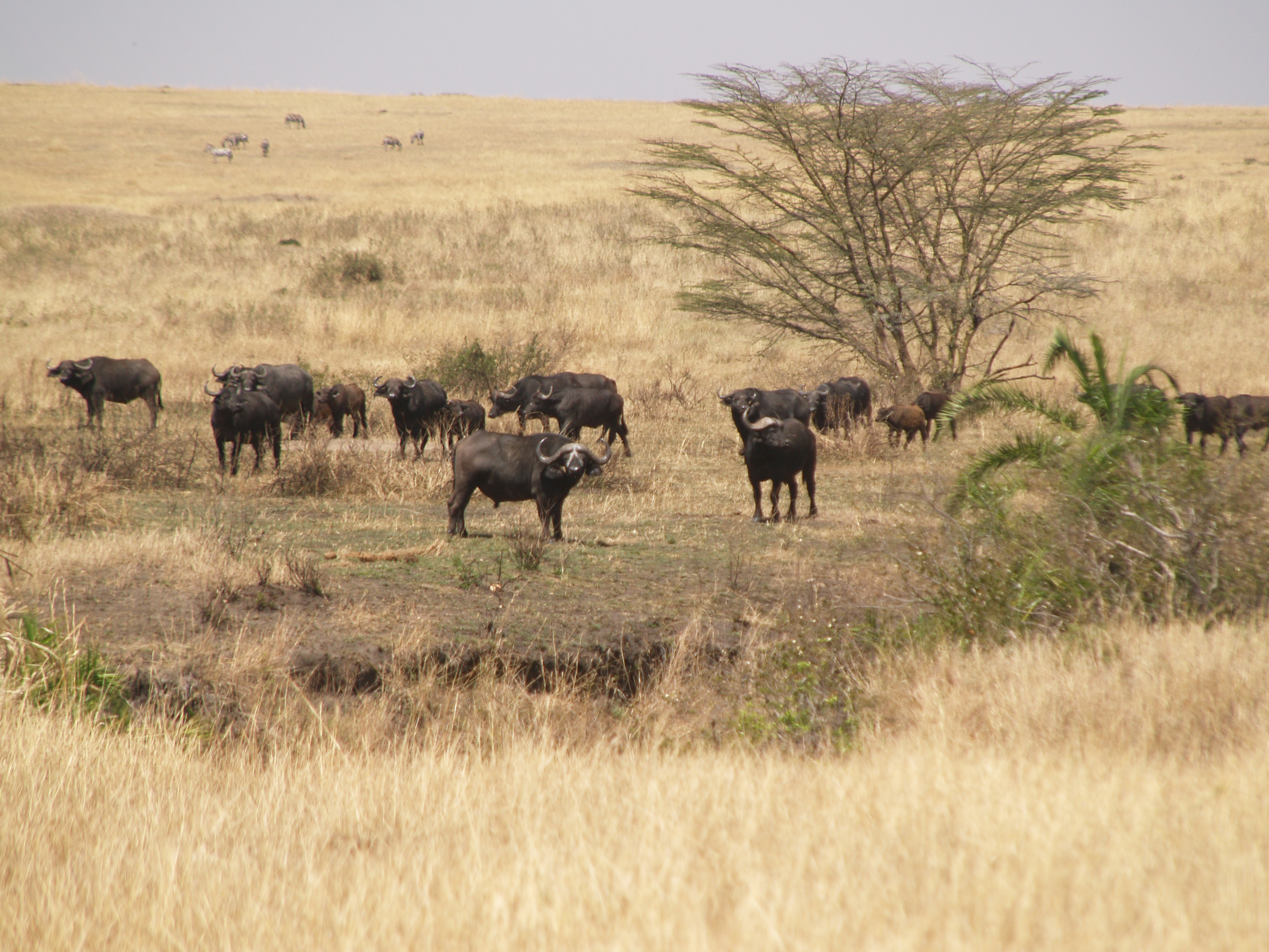 water buffalo, small herd in the Sererngeti
