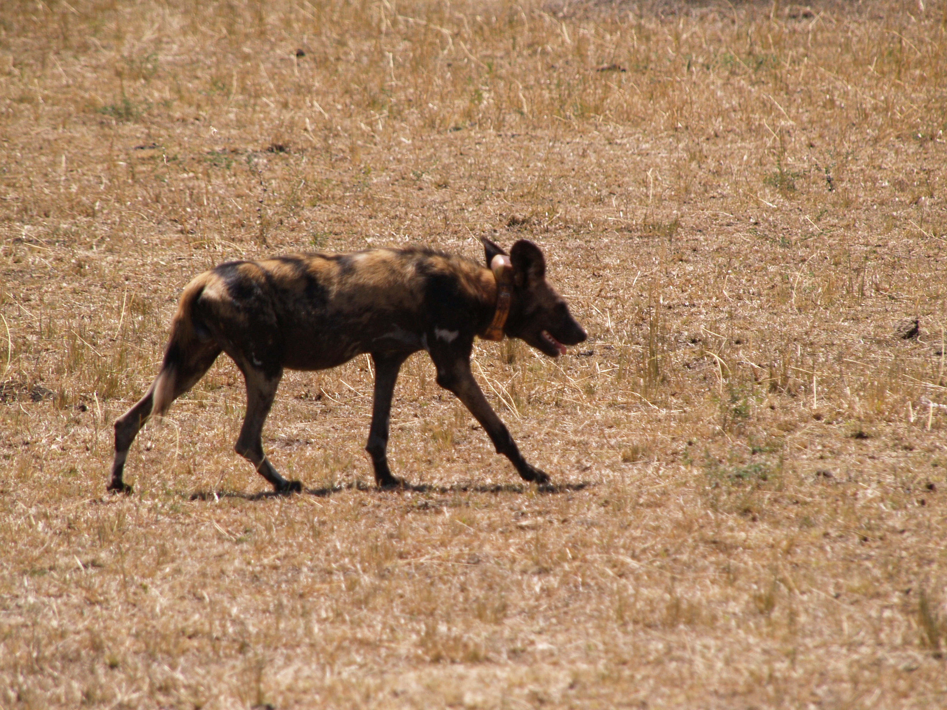 notice the collar around the neck, on going studies to reintroduce the the wild dog to the Serengeti