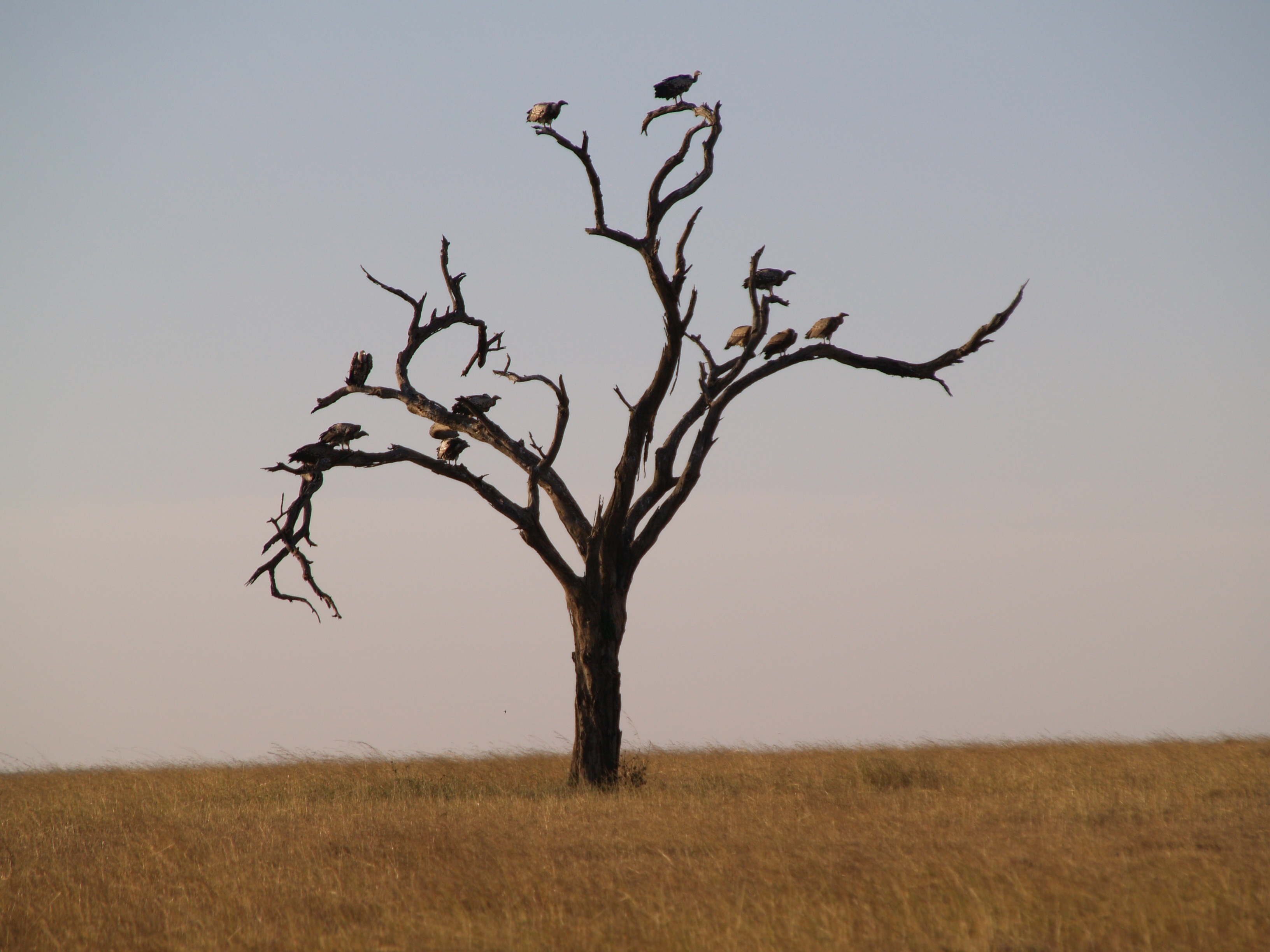 vultures in a tree