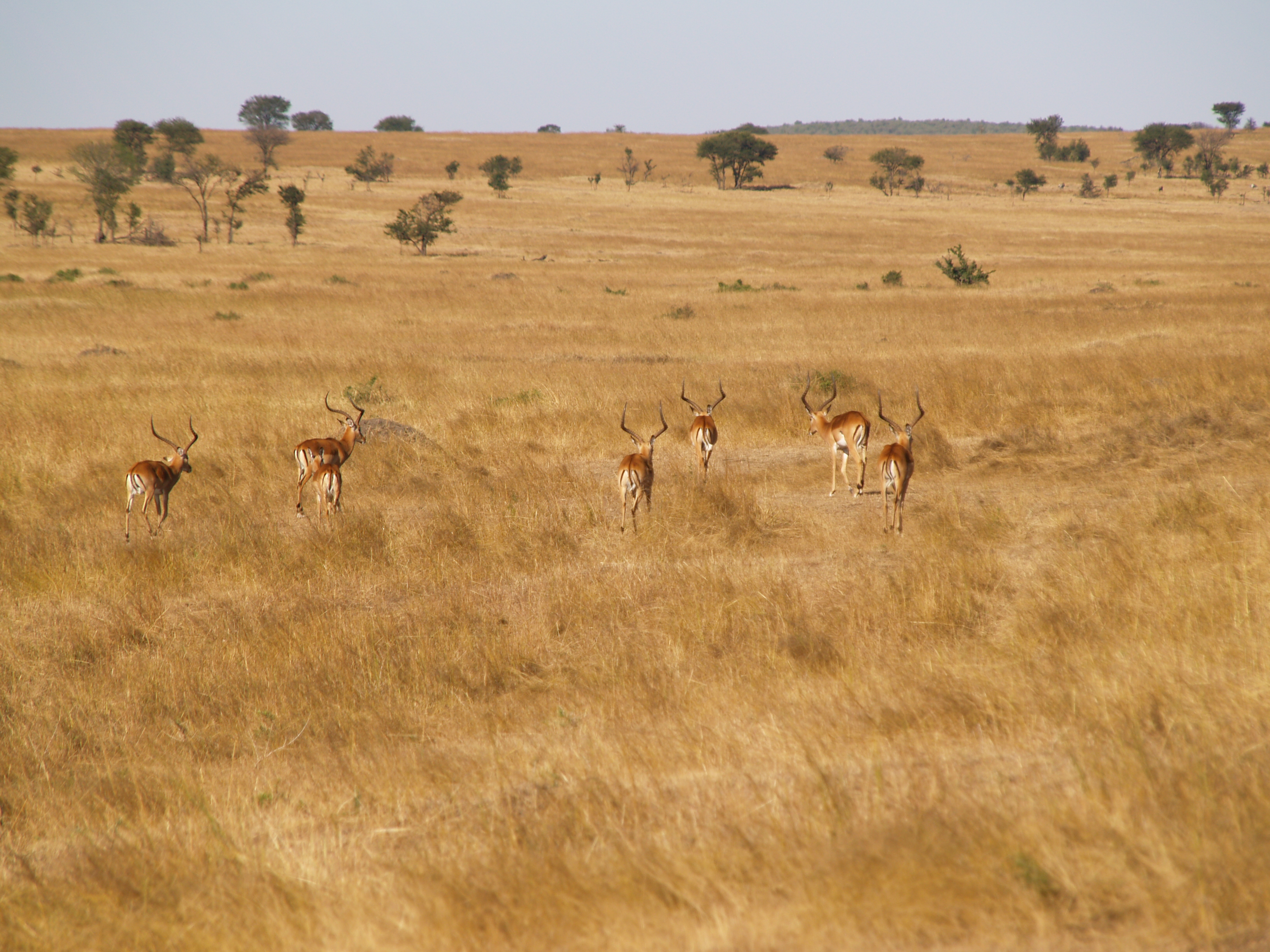 a herd of bachelor impalas