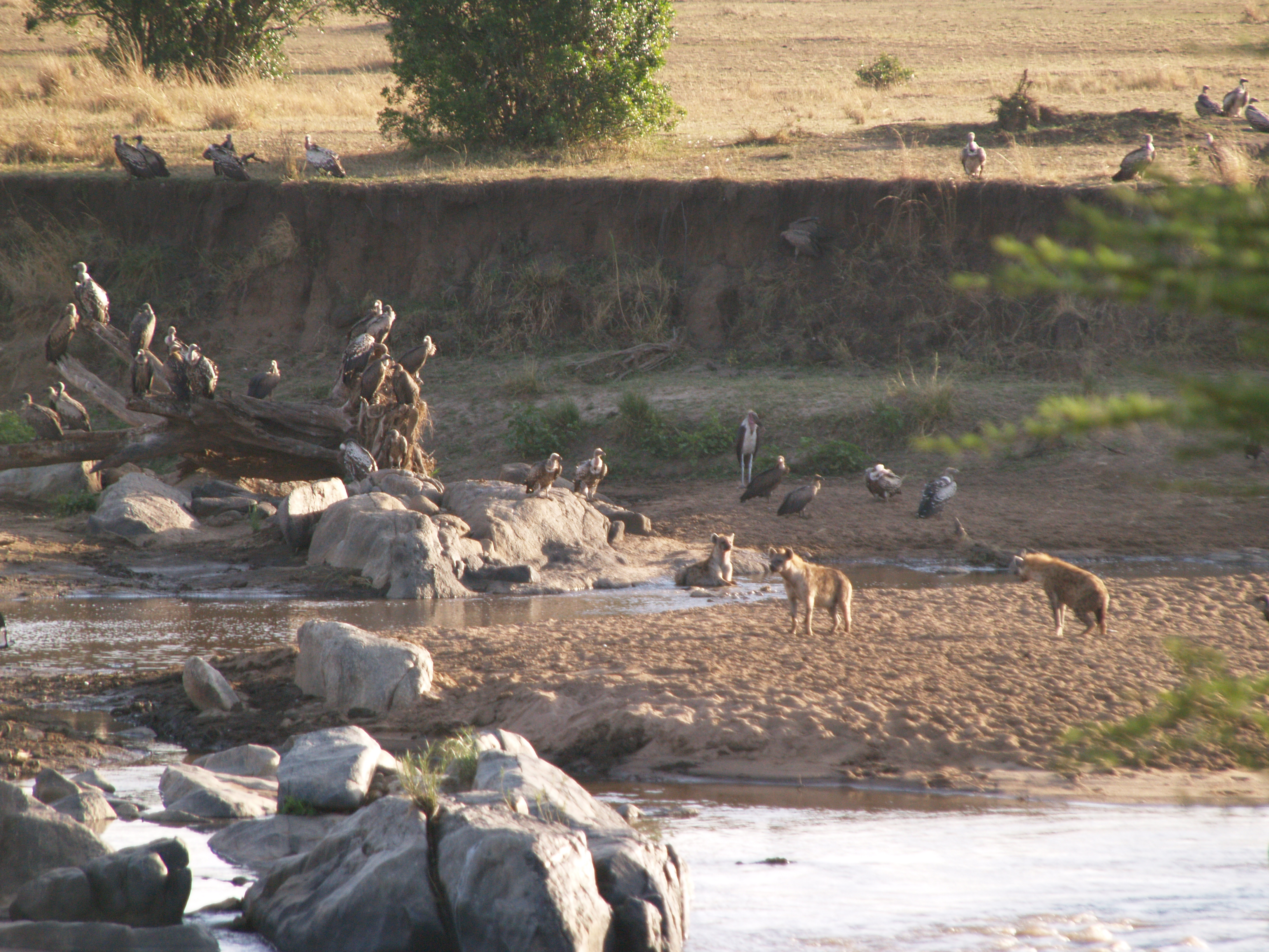 on the Mara River, the scavngers resting after feeding on the wildebeest