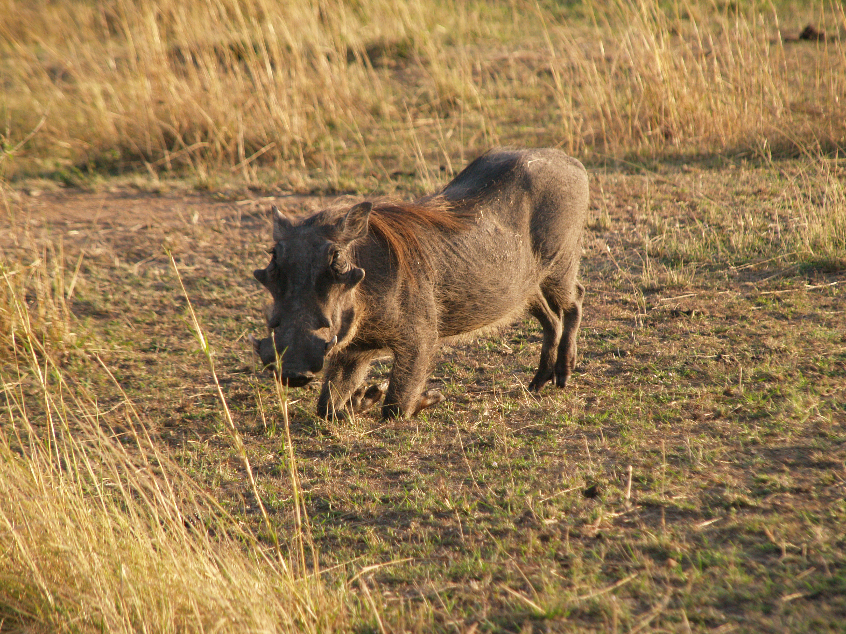 warthog needs to kneel when it eats, because of its short neck