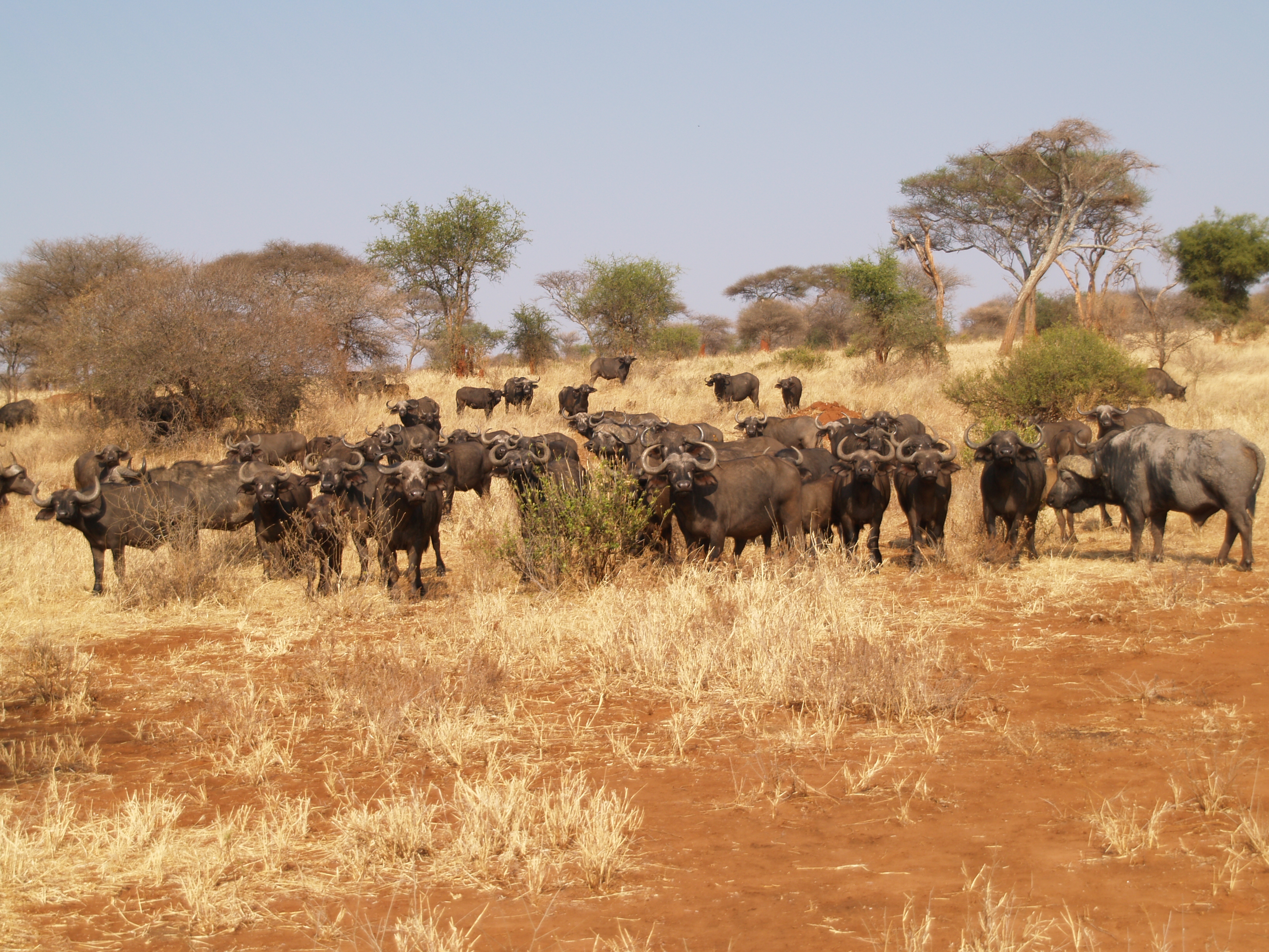 water buffalo, larger herd in the Tarangire