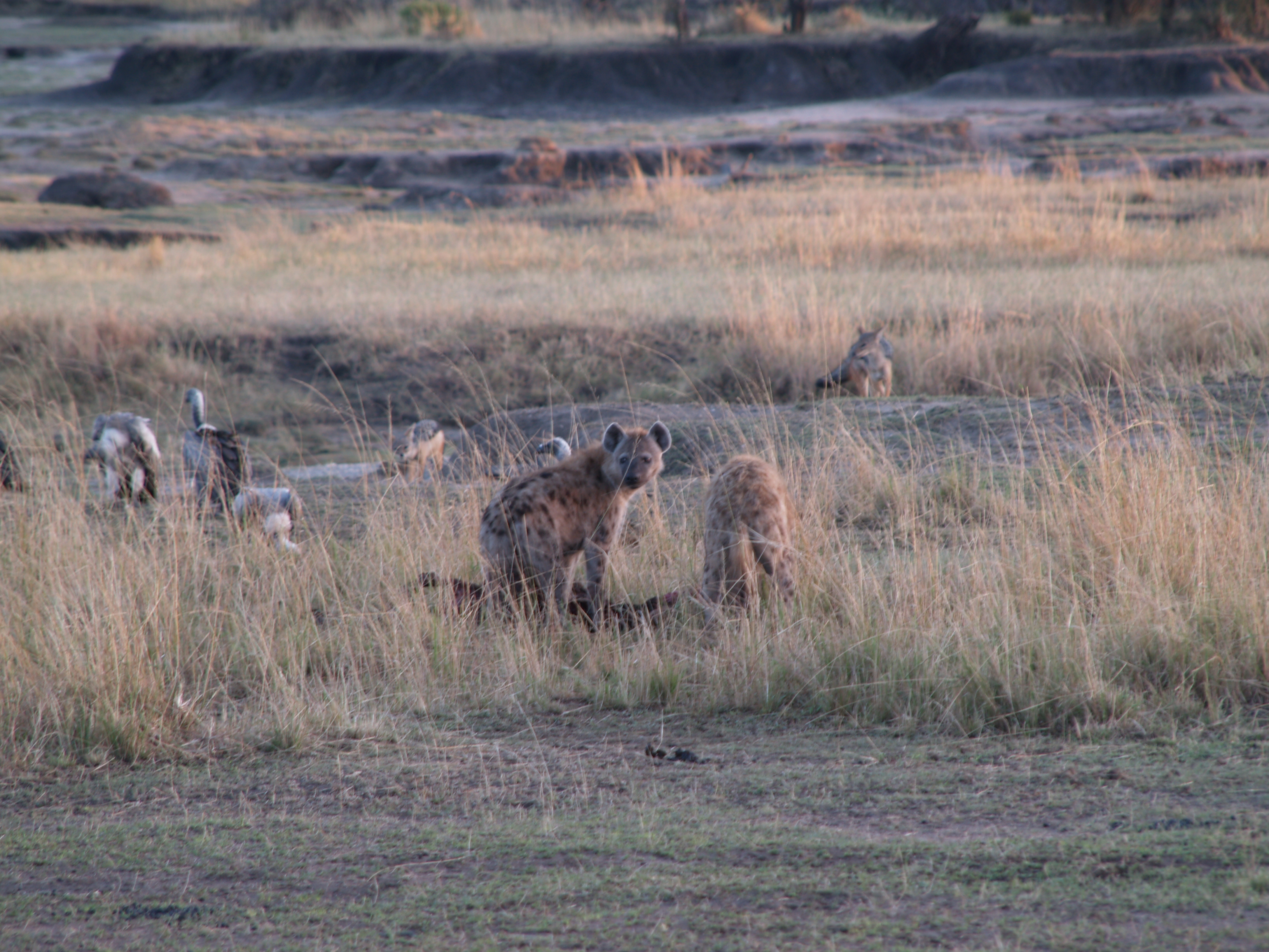 hyenas eating a kill, with vultures looking on and jackals in the background and